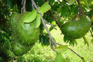 Гравиола плодове