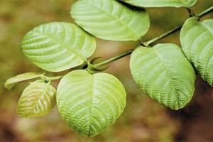 Растение Вилкакора