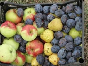 plodove-september