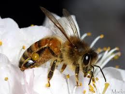 експресният мед