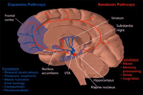 Đường đi của dopamine và serotonin trong não bộ. Nguồn: Wikimedia.
