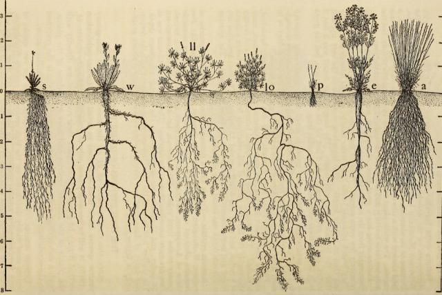 Minh họa về độ sâu và lan tỏa của rễ cây.