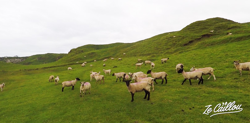 Cross several sheeps' fields while going to the Dunseverick harbour in Northern Ireland