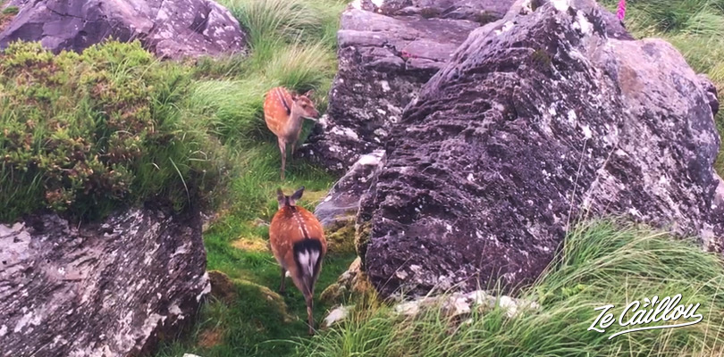 Observe wild red deers in the Killarney park in Ireland
