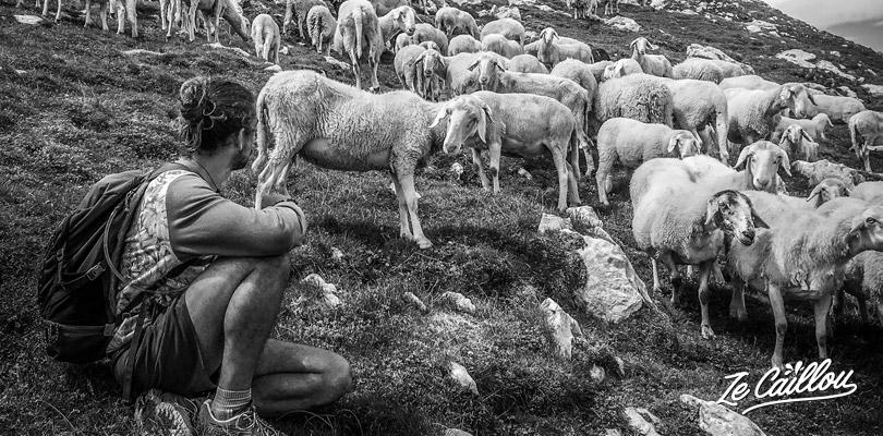 Vous croiserez des troupeaux de mouton lors de la randonnée du mont KRN en Slovénie.