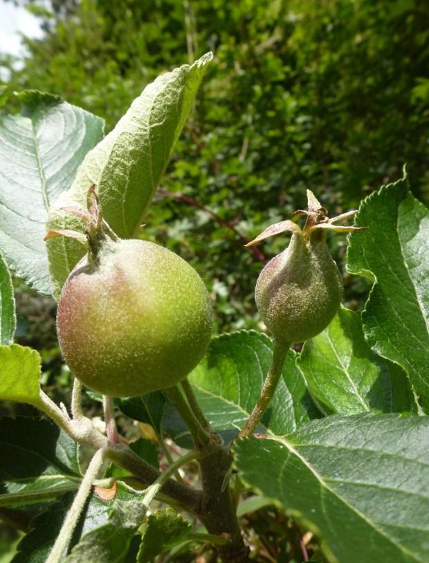 baby apple