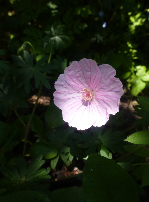 pink geranium small