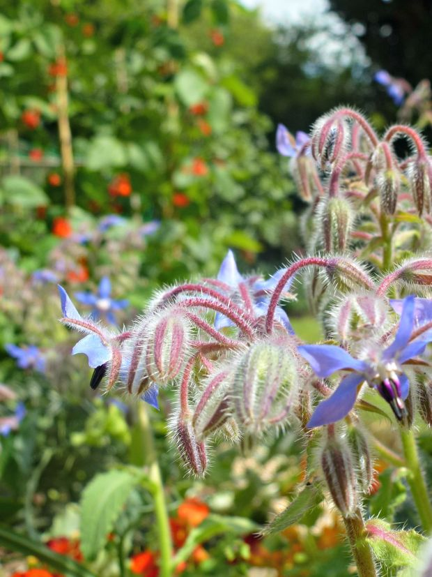borage in the herb bed