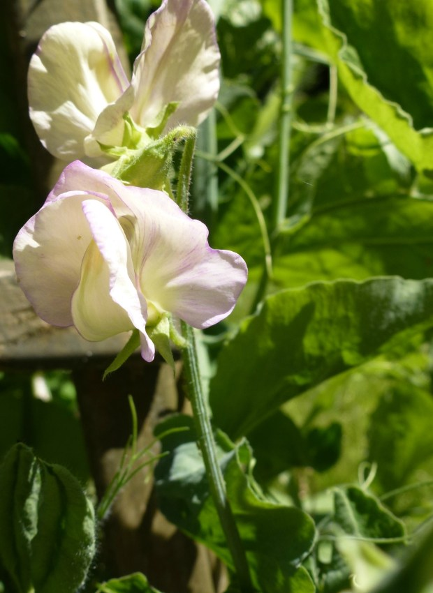 first sweet pea