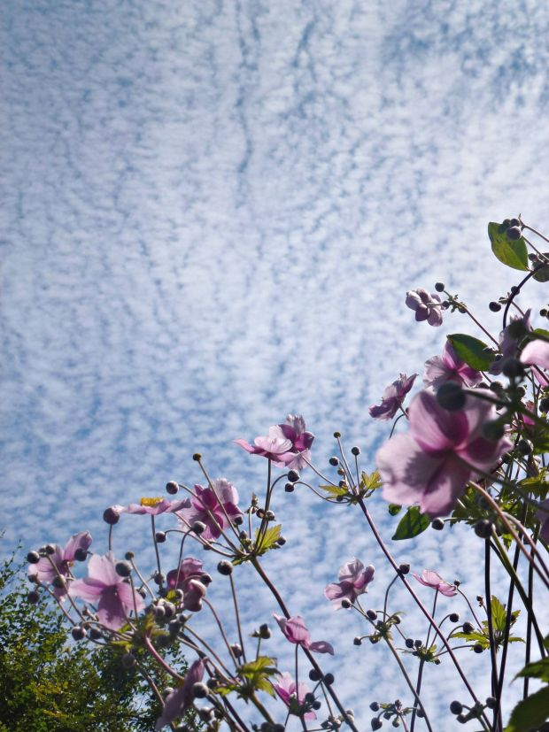 pink japanese anemone against the sky.