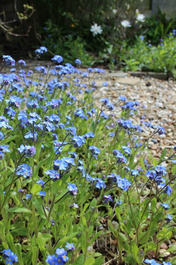 Beautiful Forget me nots. Not weeds!