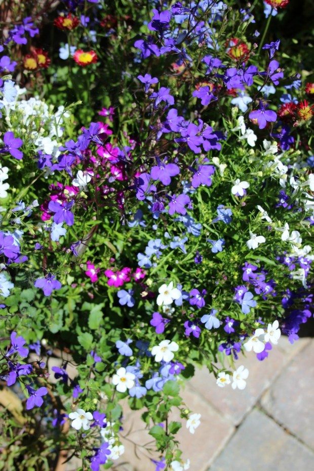 lobelia and other annuals