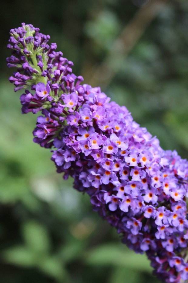 buddleia or buddleja