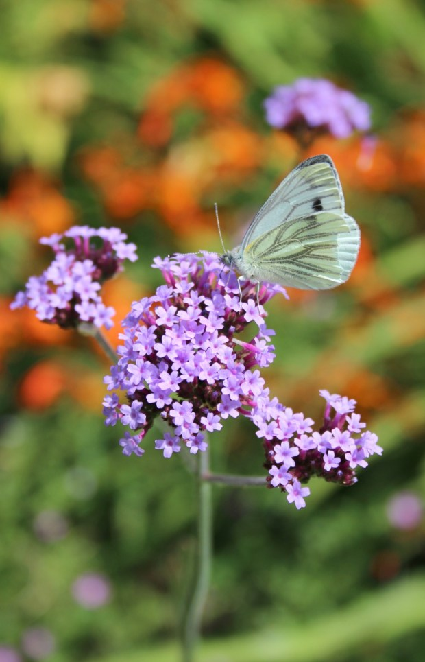 cabbage white butterfly on verbena bonariensis
