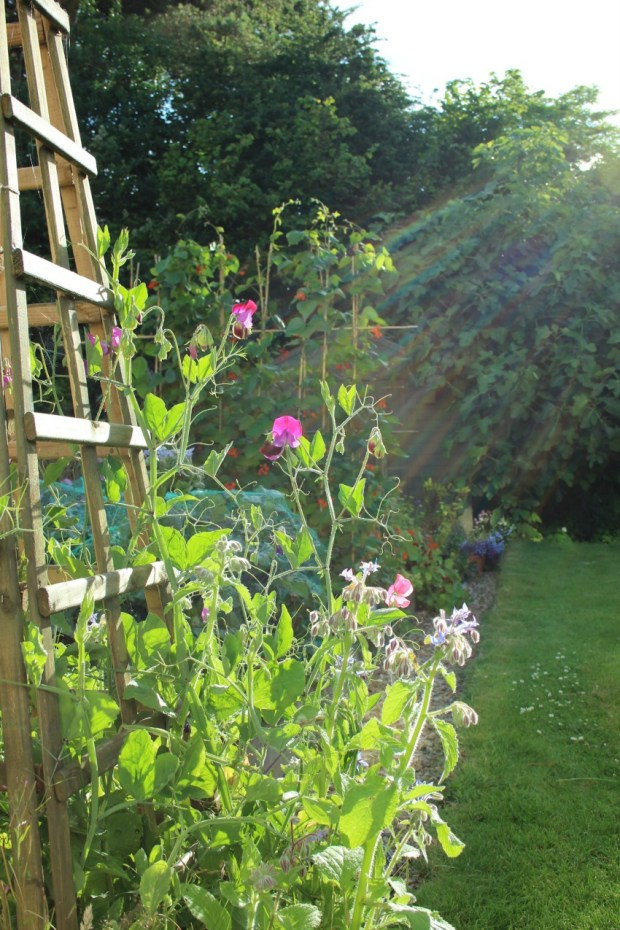early morning sweet peas.