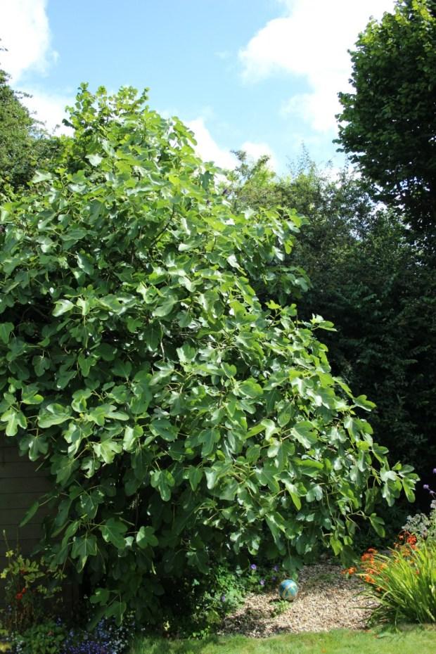 Garden fig tree.