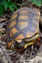 Tortoise that we found in Madidi National Park Bolivia