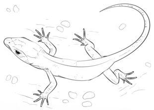 Eidechse zeichnen lernen schritt für schritt tutorial