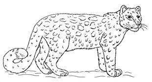 cheetah anatomy diagram 2000 volkswagen jetta stereo wiring leopard zeichnen lernen schritt für tutorial - leicht gemacht