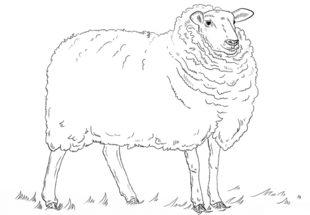 Schaf Zeichnen Lernen Schritt Fr Schritt Tutorial