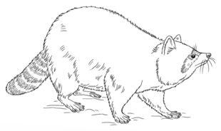 Waschbär zeichnen lernen schritt für schritt tutorial