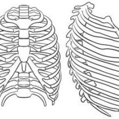Human Hand Skeleton Diagram 1996 Ford Explorer Sport Radio Wiring Rippen Zeichnen Lernen Schritt Für Tutorial - Leicht Gemacht