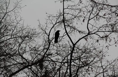 Krähe auf dem Baum am St. Johanns-Platz