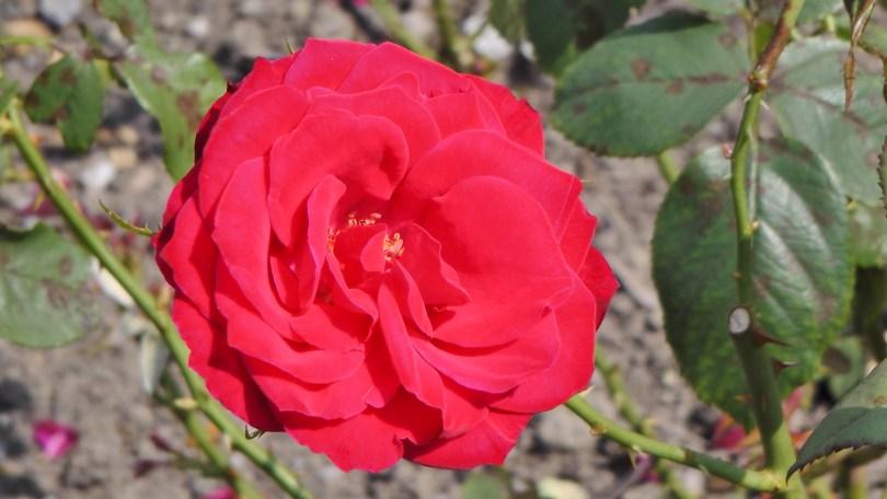 Red Rose in The Rose Garden at Hélène de Champlain
