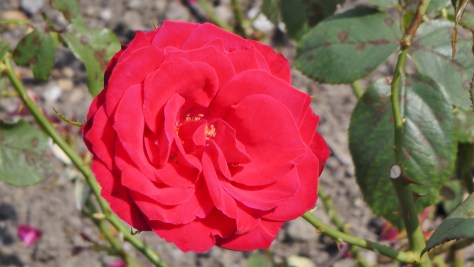 Red Rose in The Rose Garden at Hélène de Champlain