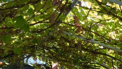 And still More Grapes on de L'Esplanade
