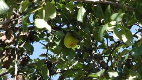 Pears on de L'Esplanade