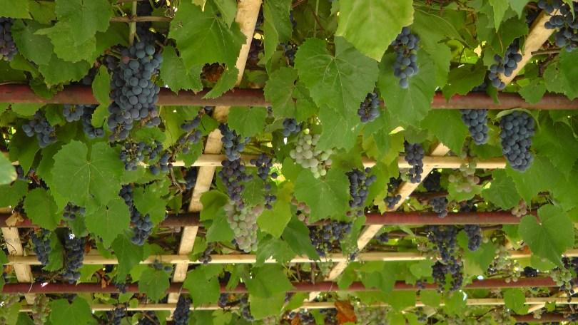 Still more grapes on de L'Esplanade