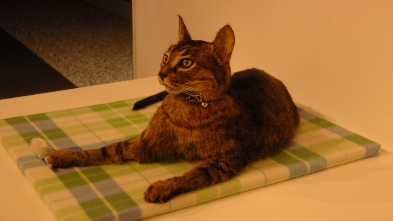 Kate Puxley, Stripe, Naturalized Cat
