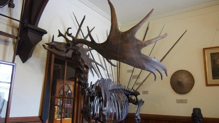 ヘラジカの骨格標本