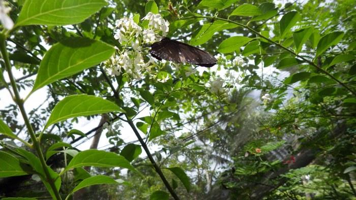 バタフライガーデンの蝶2