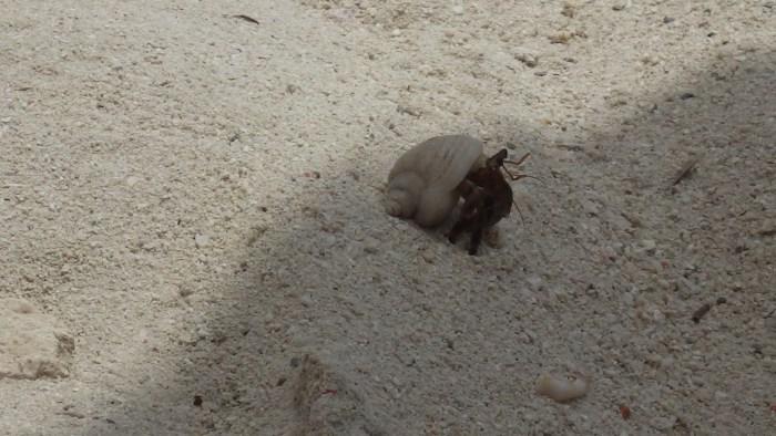 アロナビーチのヤドカリ