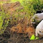 Барбарис – як посадити та доглядати