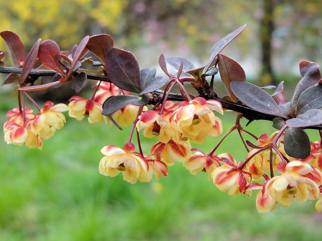Барбарис цвіте