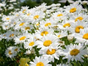 Багаторічні квіти - Ромен звичайний
