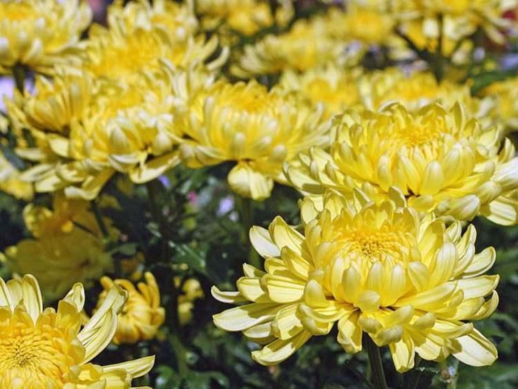 Хризантема «Зембла йєлоу»
