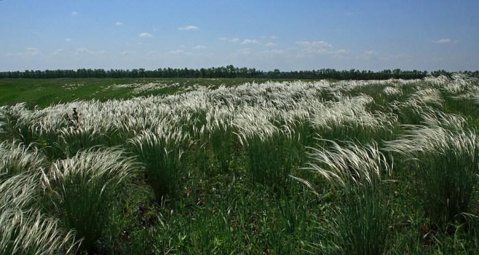 декоративні трави ковила найкрасивіша