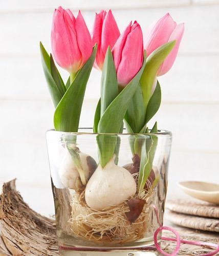 Вирощування тюльпанів у воді