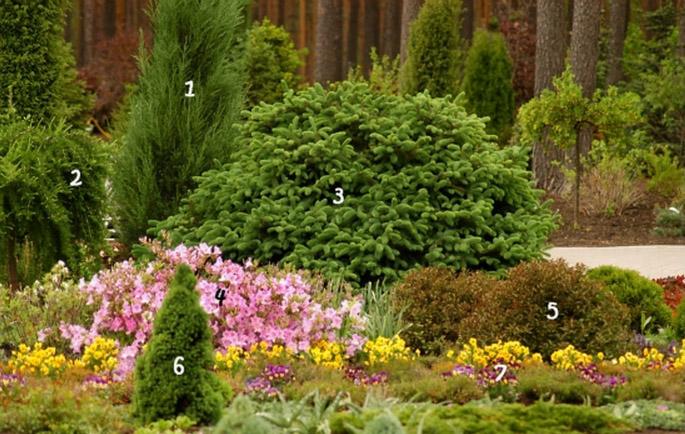 1. Ялівець скельний 'Blue Arrow' 5. Вейгела квітуча 'Purpurea Nana'<br /> 2. Модрина європейська 'Pendula' 6. Ялина канадська 'Conica'<br /> 3. Ялина шорстка 'Compacta' 7. Віола, братки<br /> 4. Рододендрон пукханскій<br /> https://zelenasadyba.com.ua