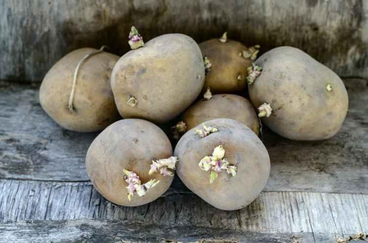 Як швидко розмножити насіннєву картоплю