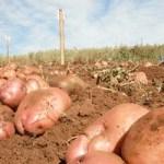 Посадкова картопля – як підготувати?