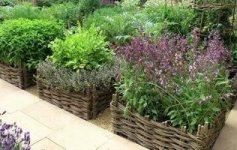 пряні трави на городі зображення