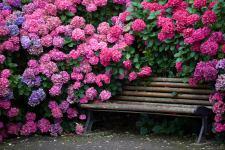 Гортензія садова. Чого не цвіте?