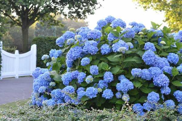 гортензія садова Endless-Summer зображення