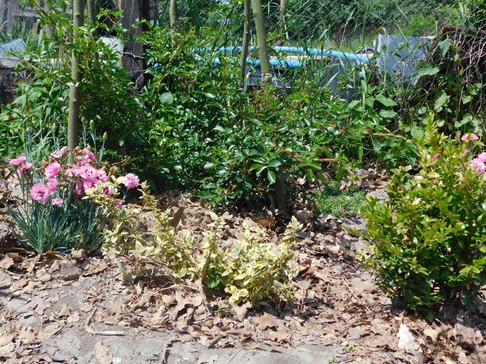 багаторічні квіти на клумбі