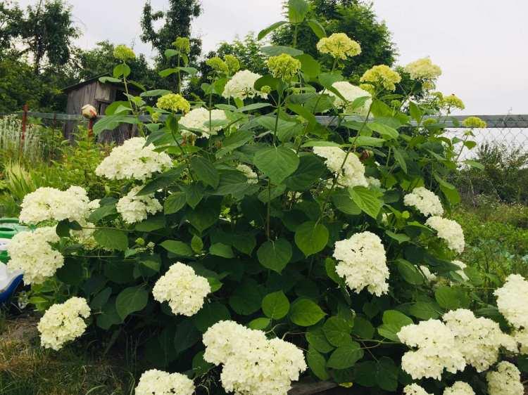 Гортензія деревовидна була висаджена теж в перший сезон, тут їй два роки, літо 2019
